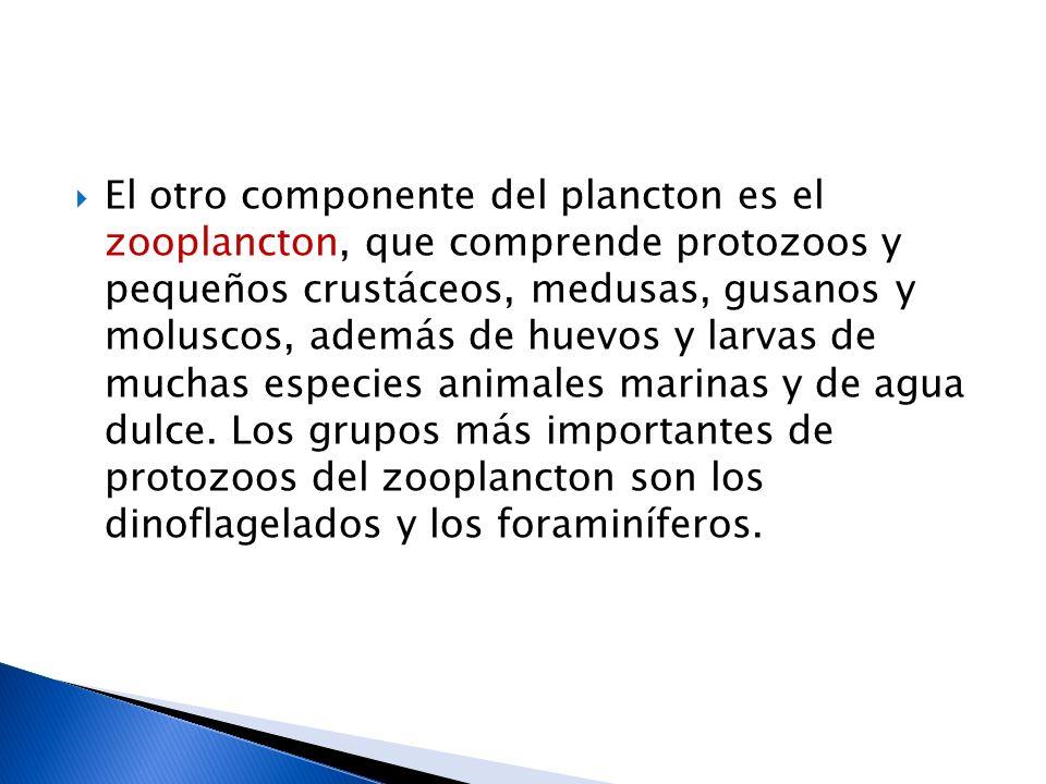 El otro componente del plancton es el zooplancton, que comprende protozoos y pequeños crustáceos, medusas, gusanos y moluscos, además de huevos y larvas de muchas especies animales marinas y de agua dulce.