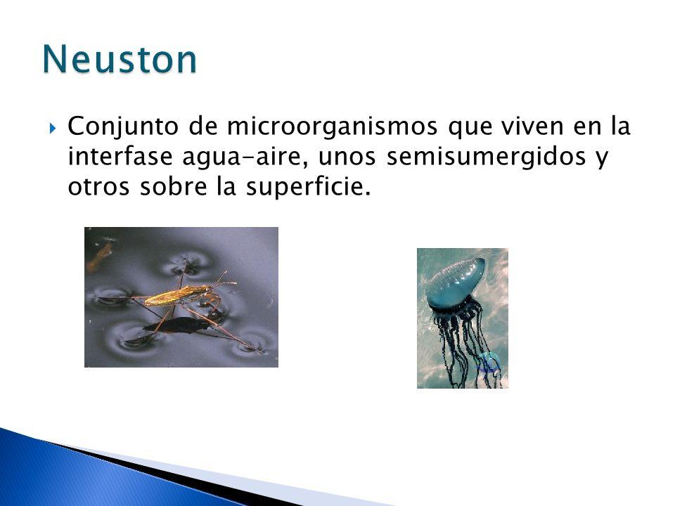 Neuston Conjunto de microorganismos que viven en la interfase agua-aire, unos semisumergidos y otros sobre la superficie.