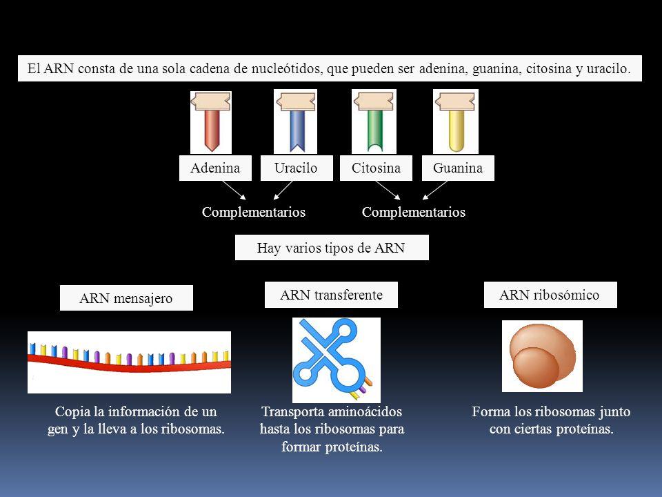 Copia la información de un gen y la lleva a los ribosomas.