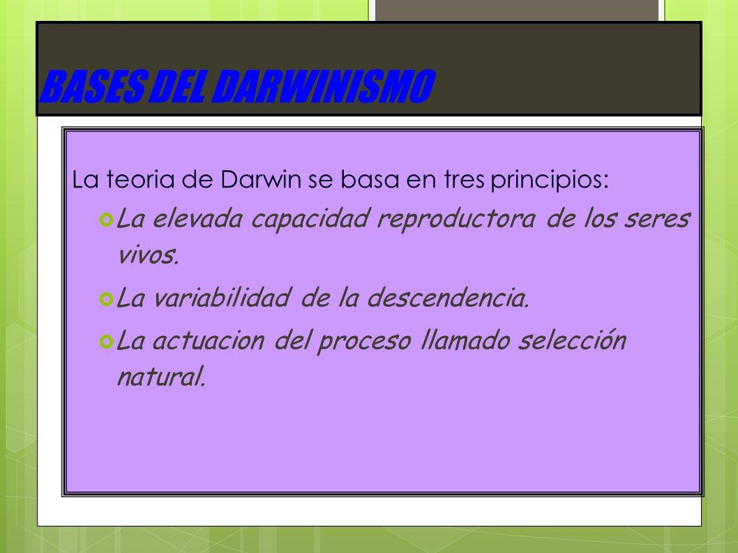 BASES DEL DARWINISMO La teoria de Darwin se basa en tres principios: La elevada capacidad reproductora de los seres vivos.