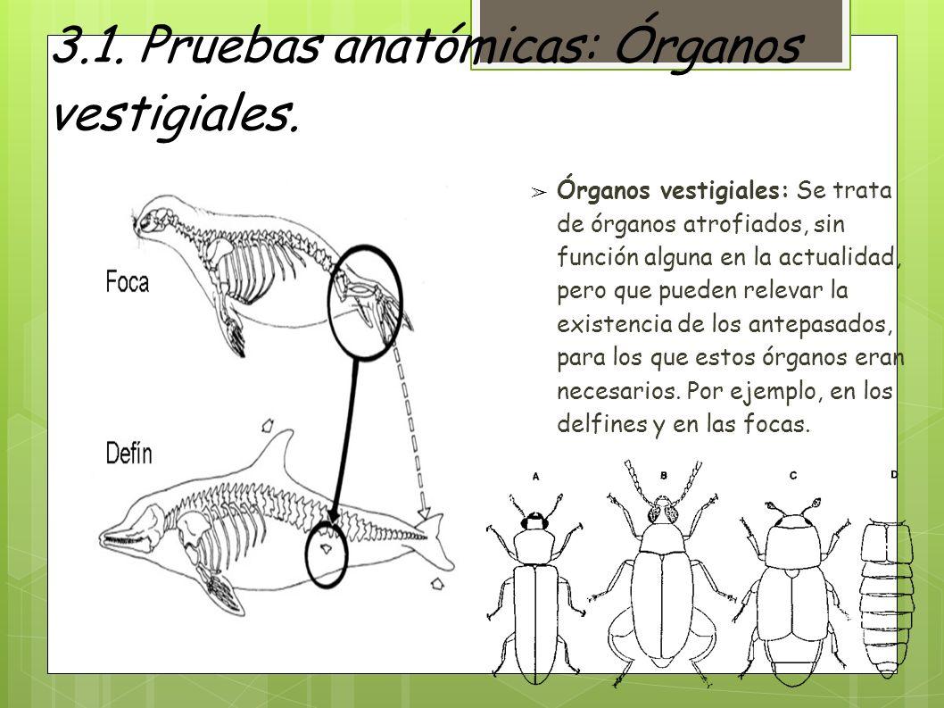 3.1. Pruebas anatómicas: Órganos vestigiales.