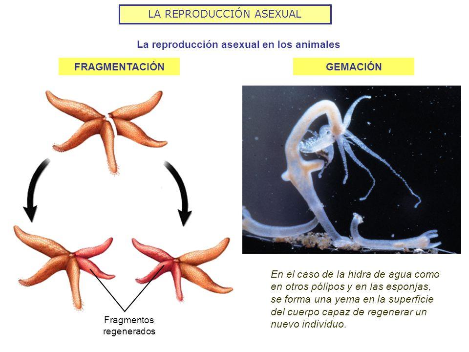 La reproducción asexual en los animales
