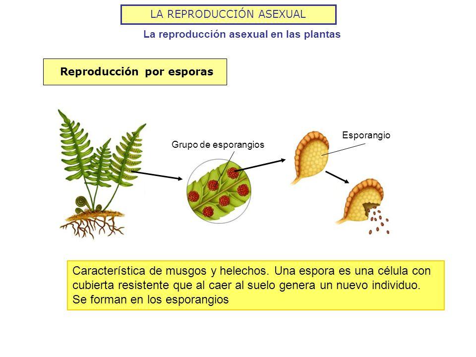 La reproducción asexual en las plantas