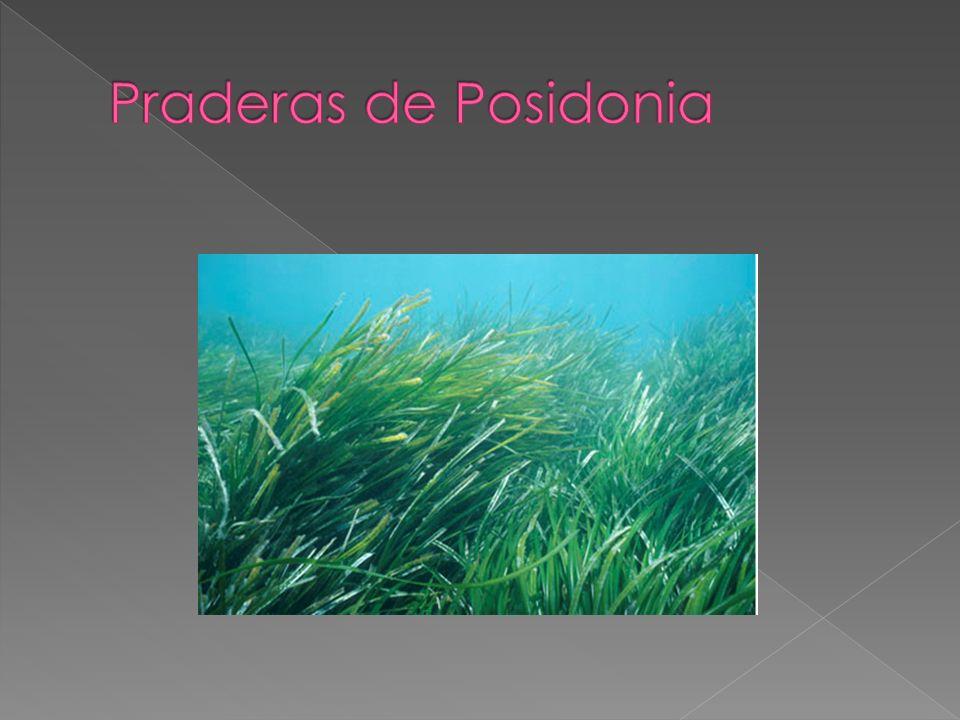 Praderas de Posidonia