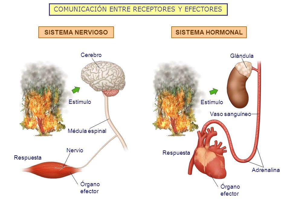 COMUNICACIÓN ENTRE RECEPTORES Y EFECTORES
