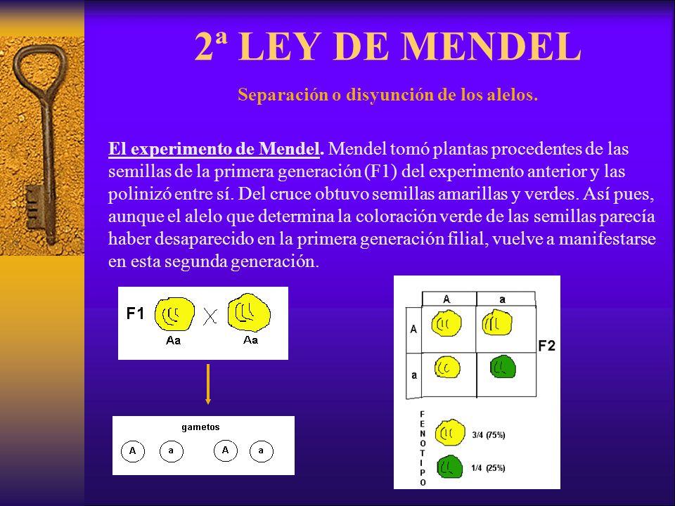 Separación o disyunción de los alelos.