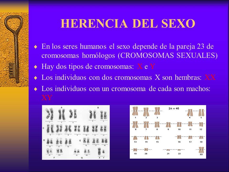 HERENCIA DEL SEXO En los seres humanos el sexo depende de la pareja 23 de cromosomas homólogos (CROMOSOMAS SEXUALES)