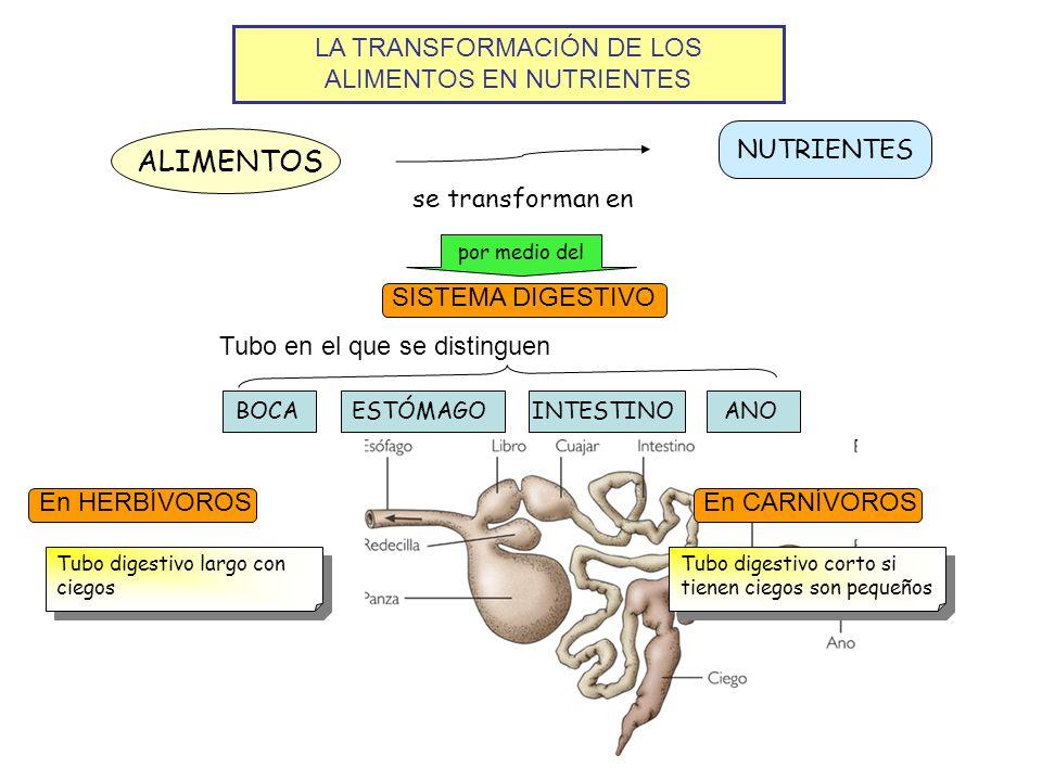 LA TRANSFORMACIÓN DE LOS ALIMENTOS EN NUTRIENTES