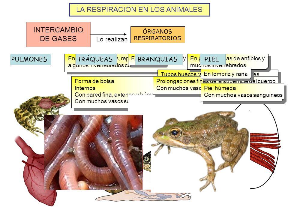 LA RESPIRACIÓN EN LOS ANIMALES