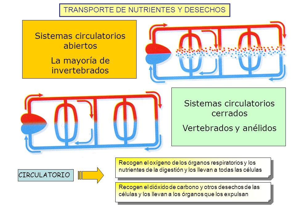 Sistemas circulatorios abiertos La mayoría de invertebrados