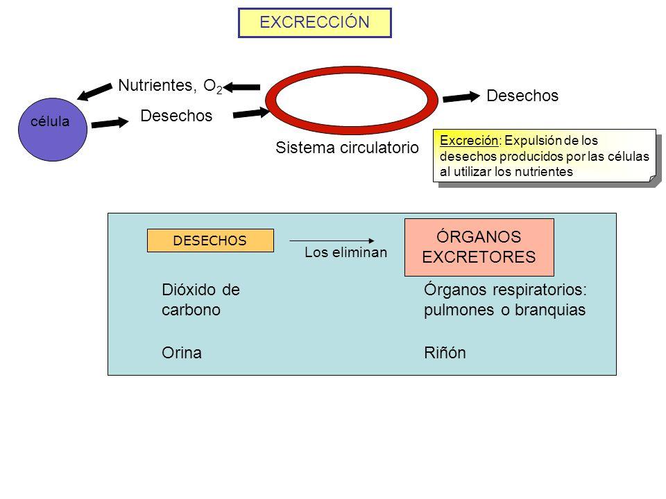 Órganos respiratorios: pulmones o branquias