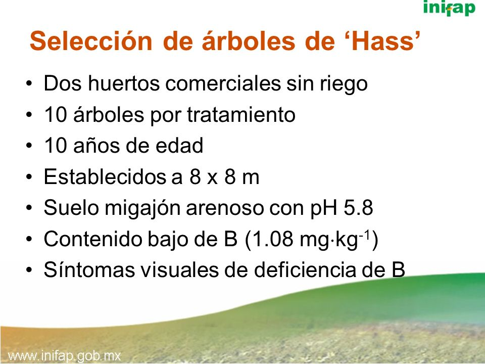 Selección de árboles de 'Hass'