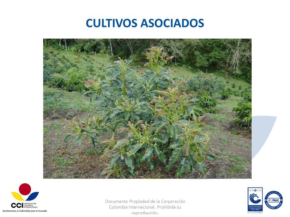 CULTIVOS ASOCIADOS Documento Propiedad de la Corporación Colombia Internacional.