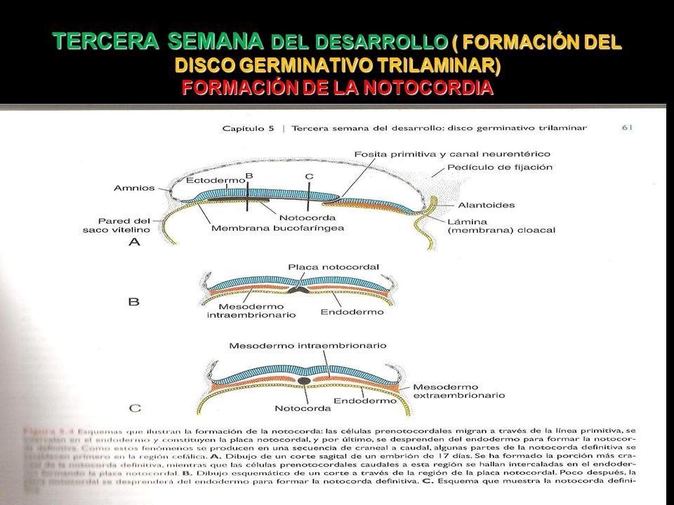 TERCERA SEMANA DEL DESARROLLO ( FORMACIÓN DEL DISCO GERMINATIVO TRILAMINAR) FORMACIÓN DE LA NOTOCORDIA