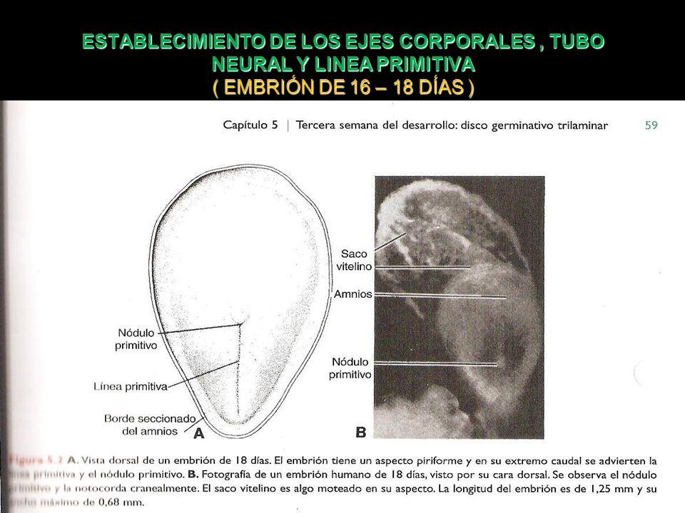 ESTABLECIMIENTO DE LOS EJES CORPORALES , TUBO NEURAL Y LINEA PRIMITIVA ( EMBRIÓN DE 16 – 18 DÍAS )