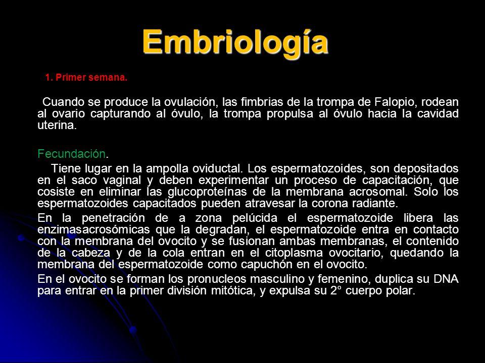 Embriología Fecundación.