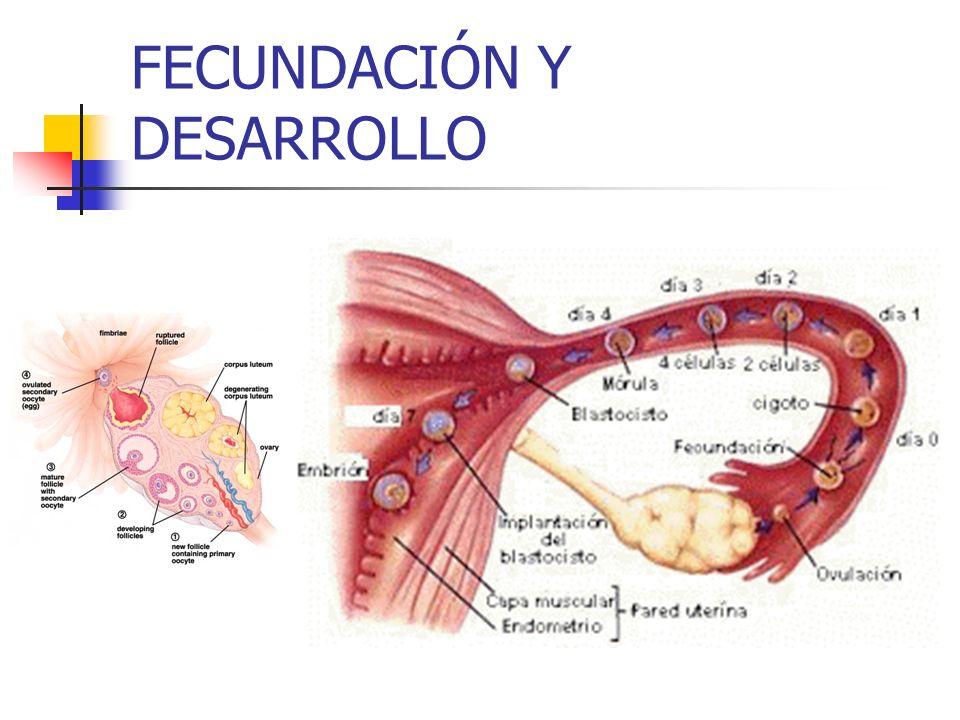 FECUNDACIÓN Y DESARROLLO
