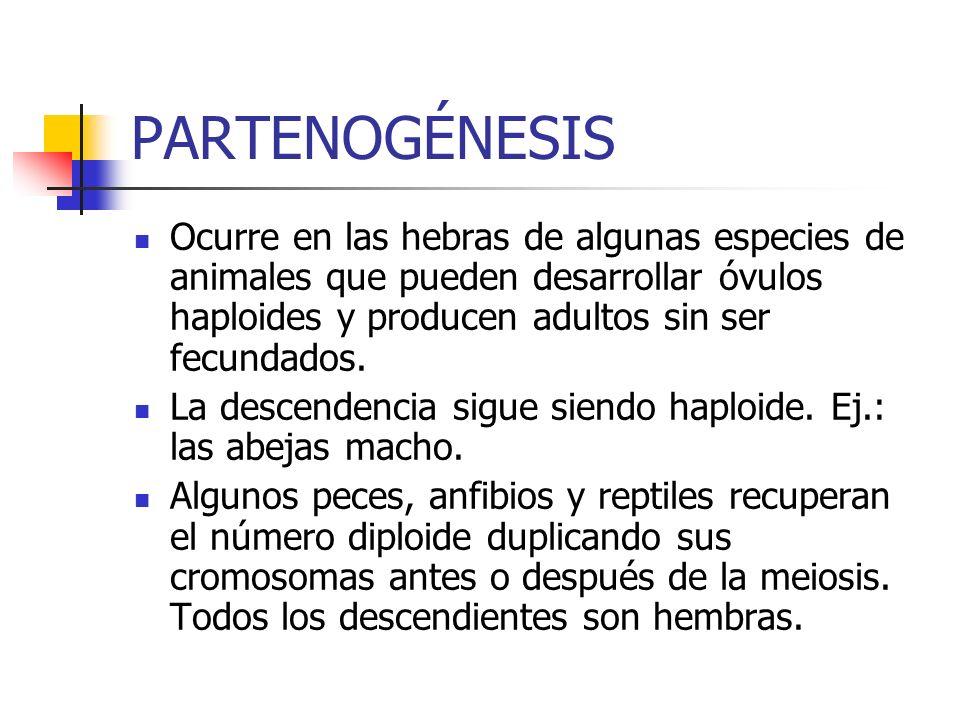 PARTENOGÉNESIS Ocurre en las hebras de algunas especies de animales que pueden desarrollar óvulos haploides y producen adultos sin ser fecundados.