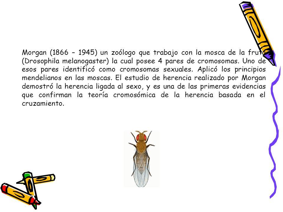 Morgan (1866 – 1945) un zoólogo que trabajo con la mosca de la fruta (Drosophila melanogaster) la cual posee 4 pares de cromosomas.