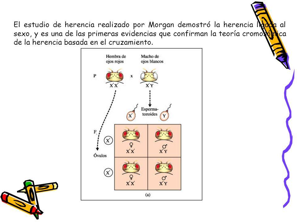 El estudio de herencia realizado por Morgan demostró la herencia ligada al sexo, y es una de las primeras evidencias que confirman la teoría cromosómica de la herencia basada en el cruzamiento.