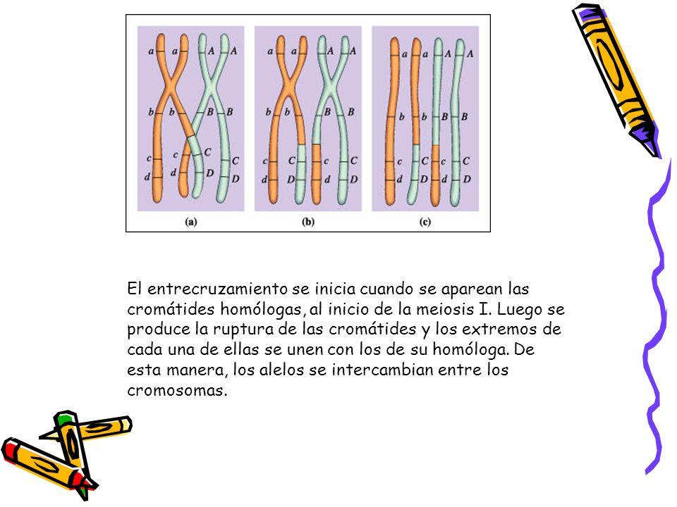 El entrecruzamiento se inicia cuando se aparean las cromátides homólogas, al inicio de la meiosis I.