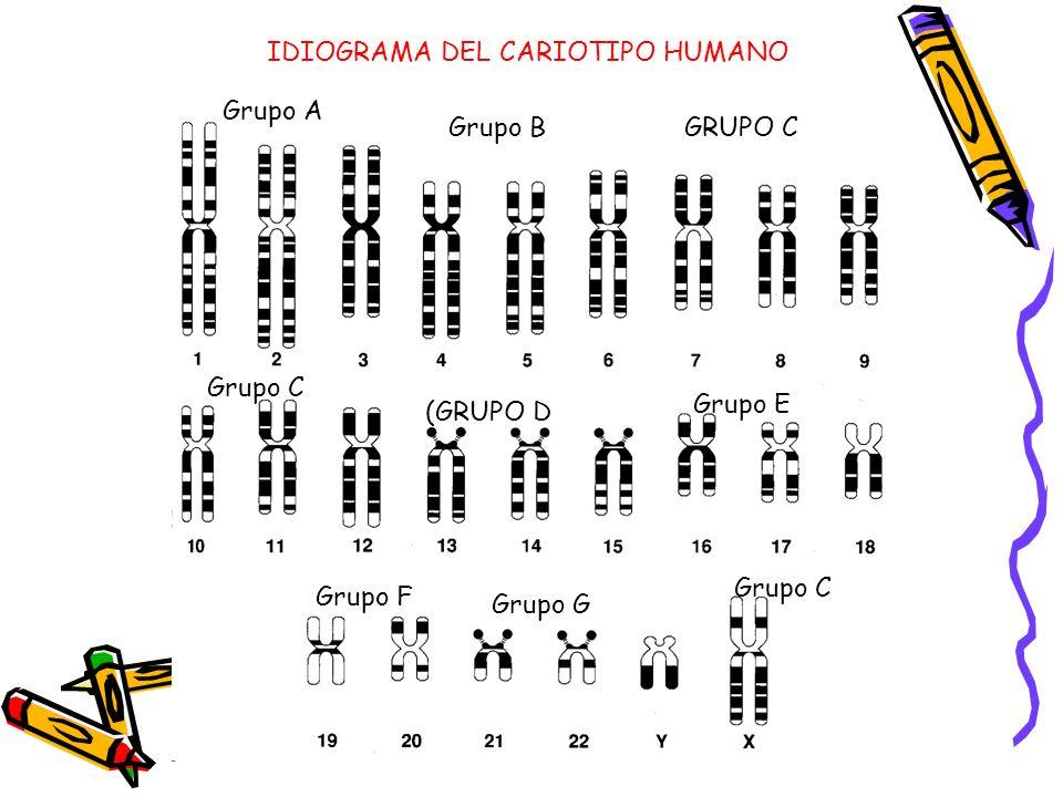 IDIOGRAMA DEL CARIOTIPO HUMANO