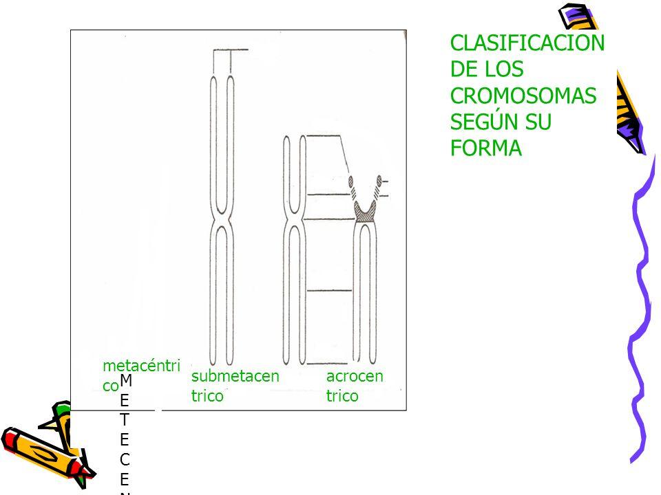 CLASIFICACION DE LOS CROMOSOMAS SEGÚN SU FORMA