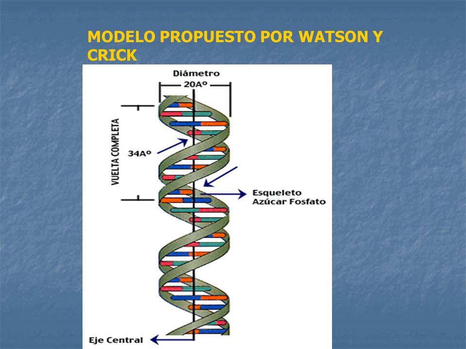 MODELO PROPUESTO POR WATSON Y CRICK