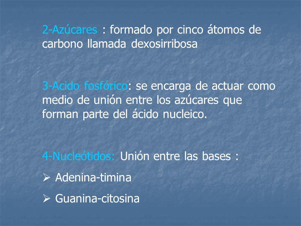 2-Azúcares : formado por cinco átomos de carbono llamada dexosirribosa