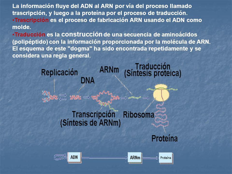 La información fluye del ADN al ARN por vía del proceso llamado trascripción, y luego a la proteína por el proceso de traducción.