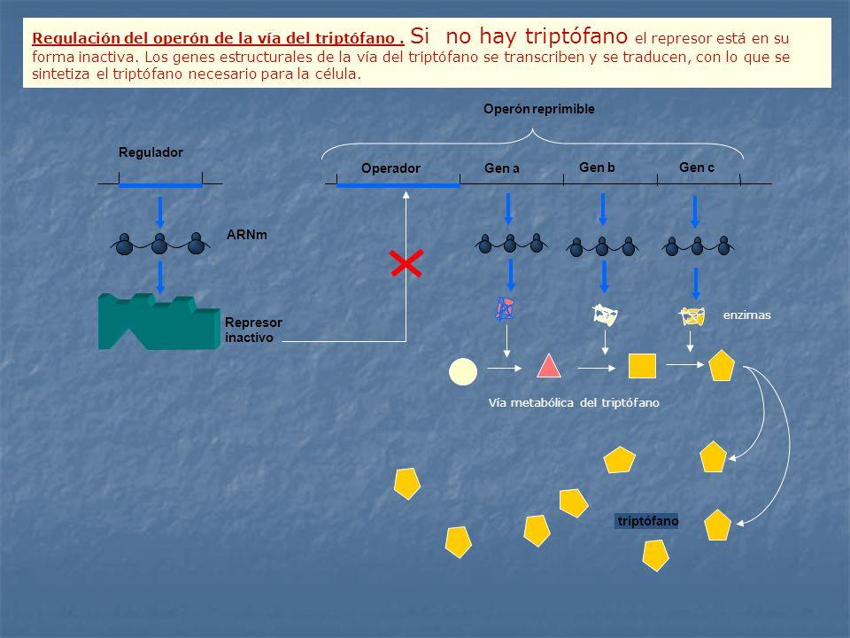 Regulación del operón de la vía del triptófano