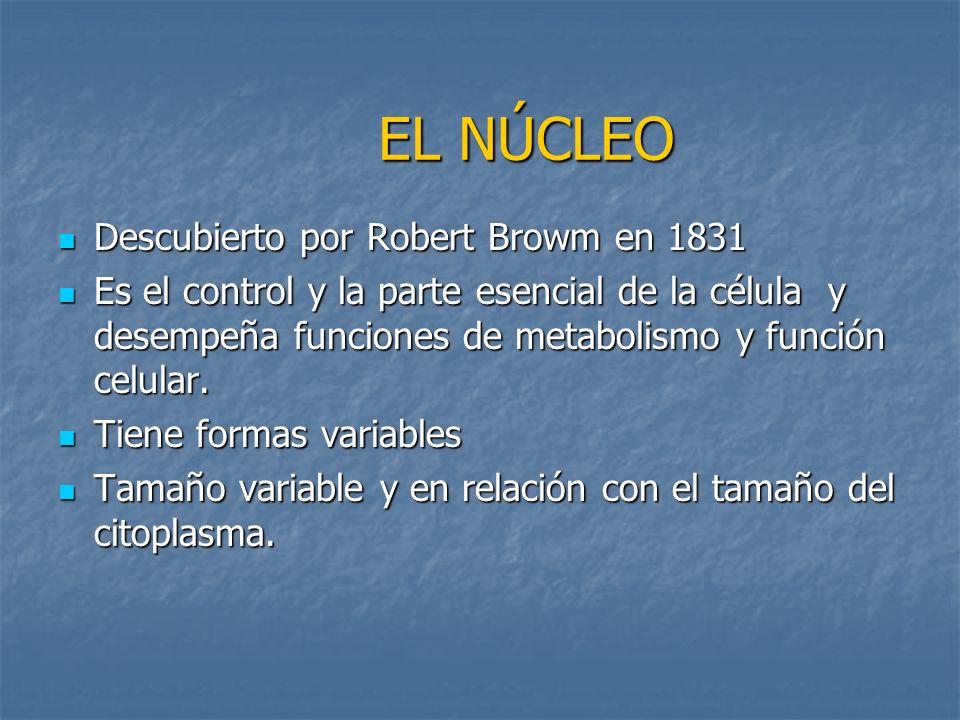 EL NÚCLEO Descubierto por Robert Browm en 1831