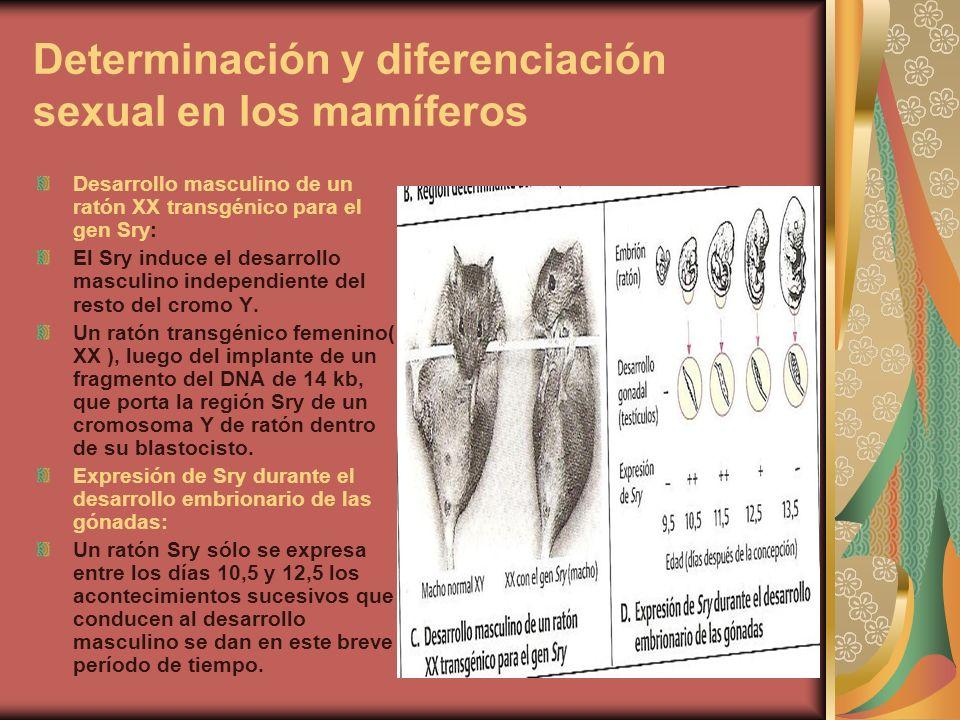 Determinación y diferenciación sexual en los mamíferos