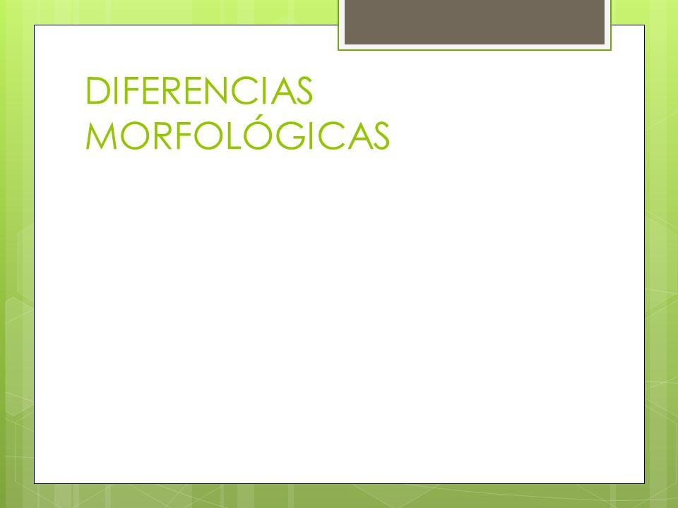 DIFERENCIAS MORFOLÓGICAS