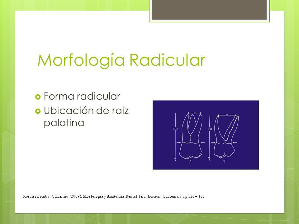 Morfología Radicular Forma radicular Ubicación de raiz palatina