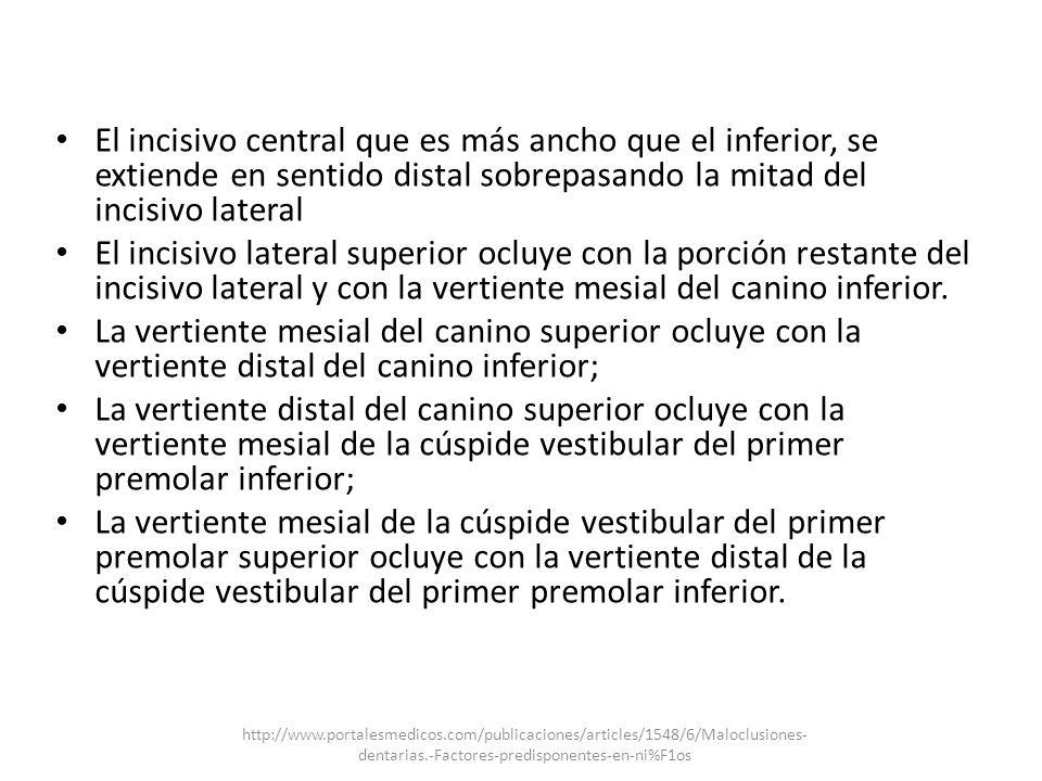 El incisivo central que es más ancho que el inferior, se extiende en sentido distal sobrepasando la mitad del incisivo lateral