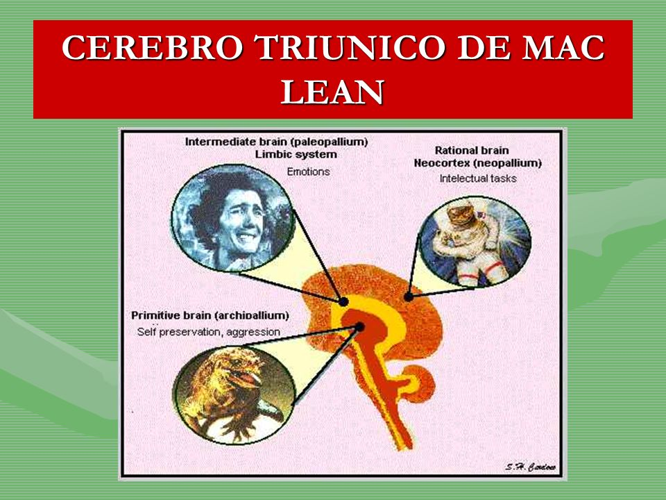 CEREBRO TRIUNICO DE MAC LEAN