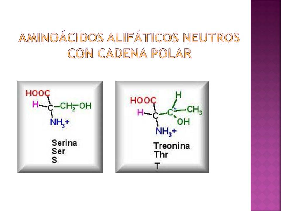 Aminoácidos alifáticos neutros con cadena polar