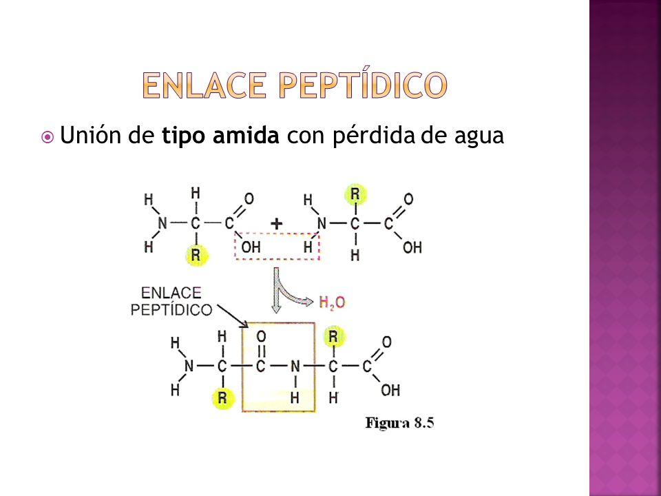 Enlace peptídico Unión de tipo amida con pérdida de agua