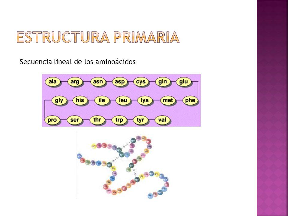 Estructura primaria Secuencia lineal de los aminoácidos