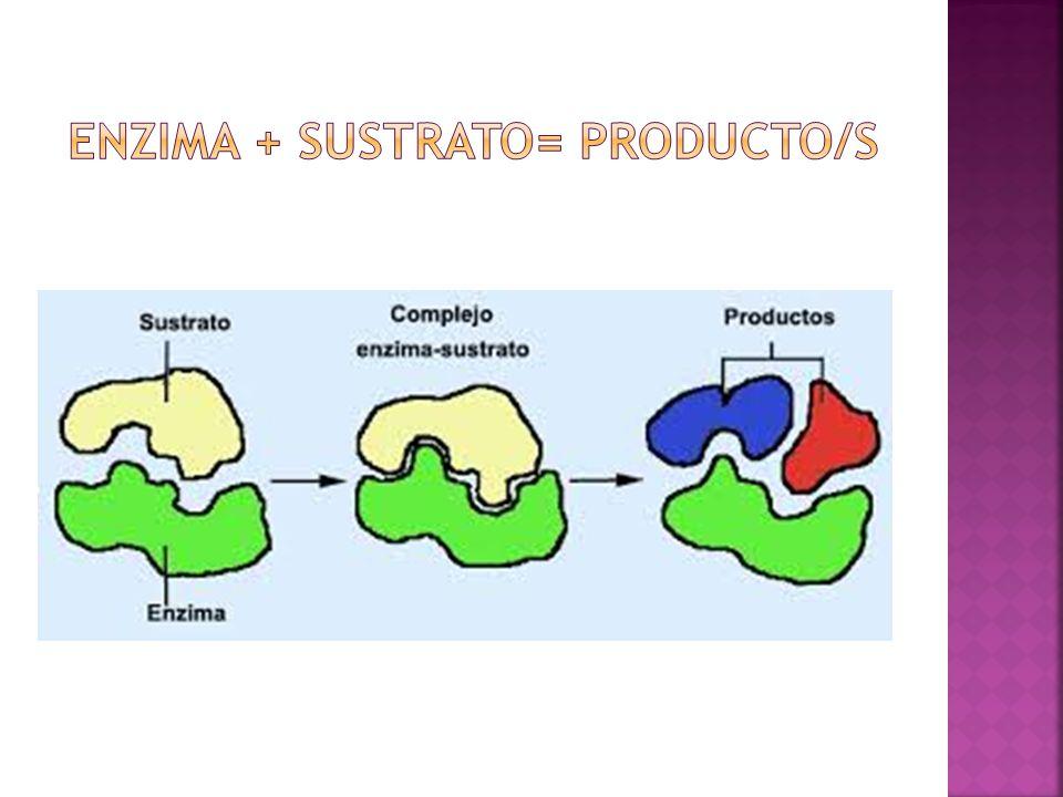 Enzima + sustrato= producto/S