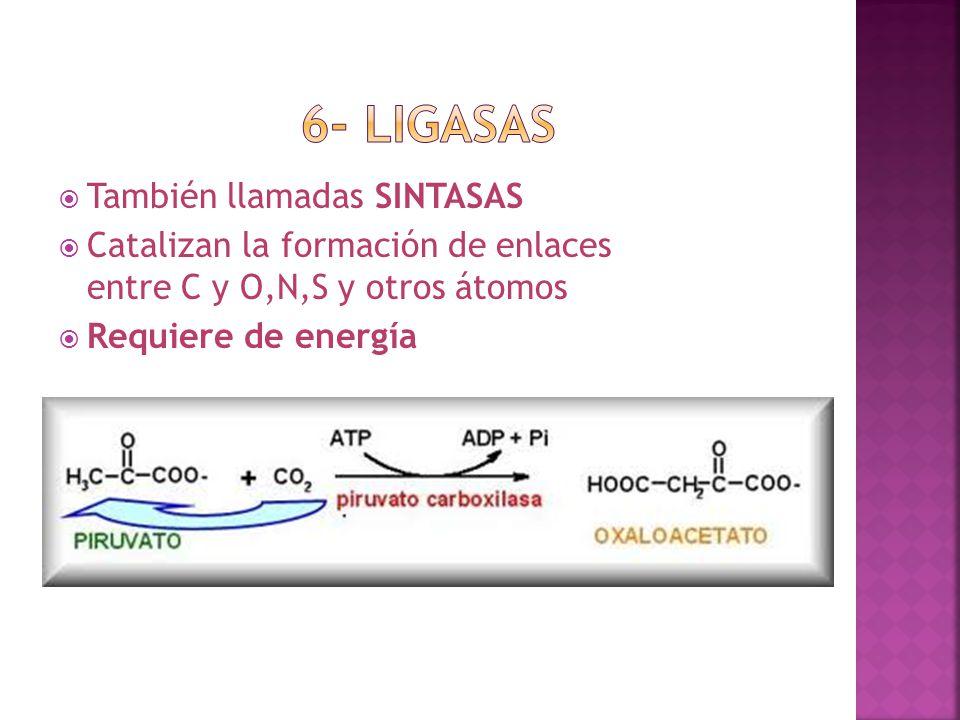 6- ligasas También llamadas SINTASAS