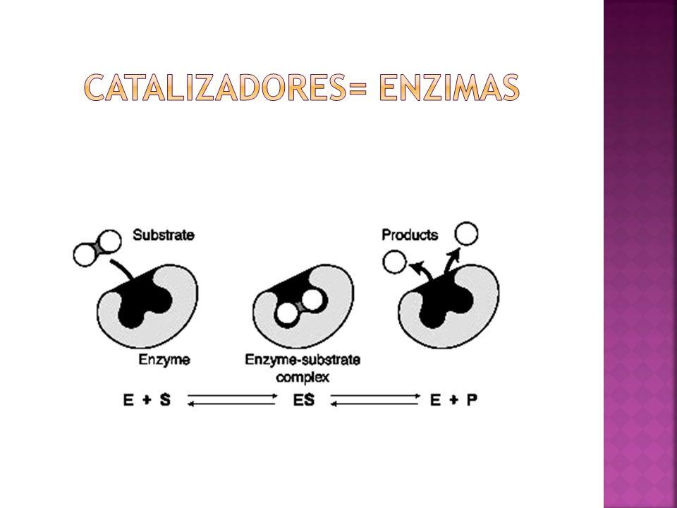 Catalizadores= enzimas
