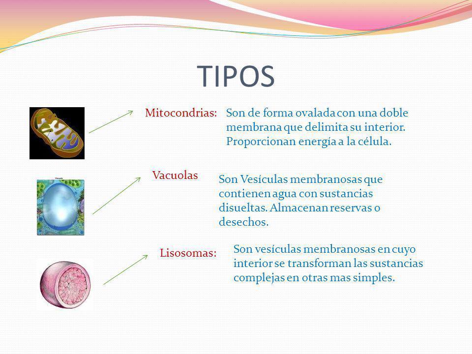 TIPOSMitocondrias: Son de forma ovalada con una doble membrana que delimita su interior. Proporcionan energía a la célula.