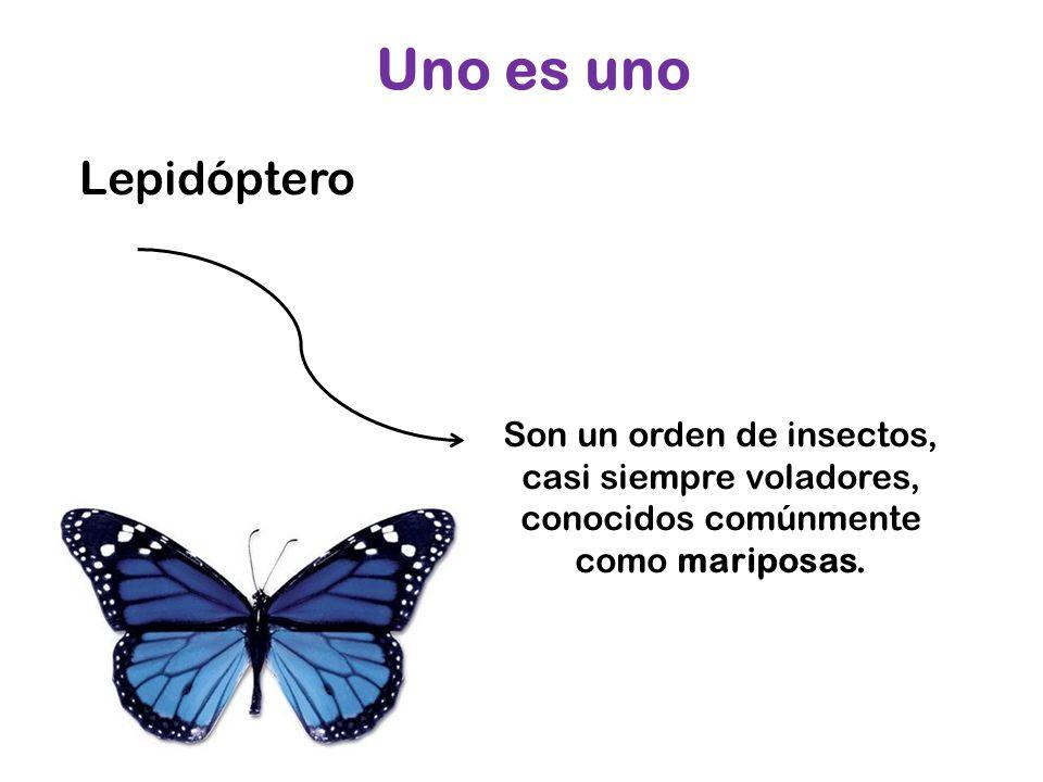 Uno es uno Lepidóptero.