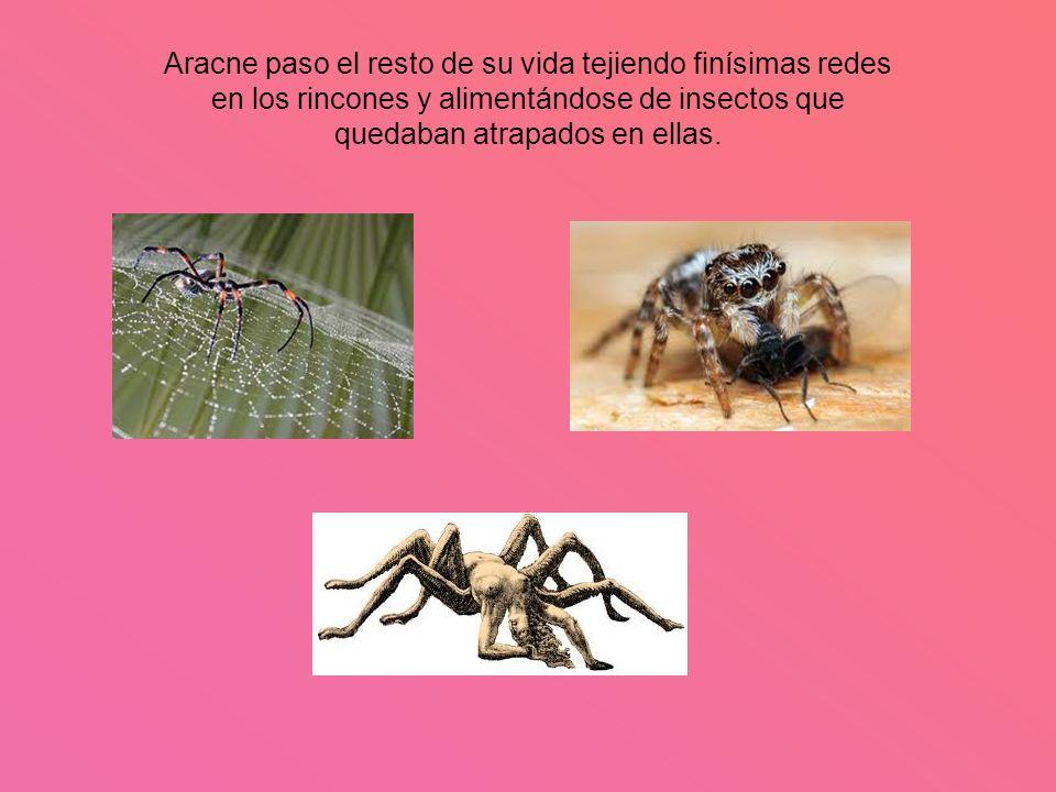Aracne paso el resto de su vida tejiendo finísimas redes en los rincones y alimentándose de insectos que quedaban atrapados en ellas.