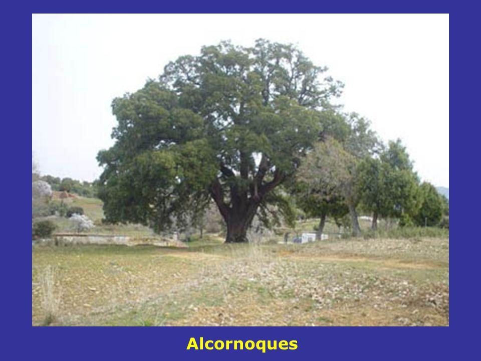 Alcornoques