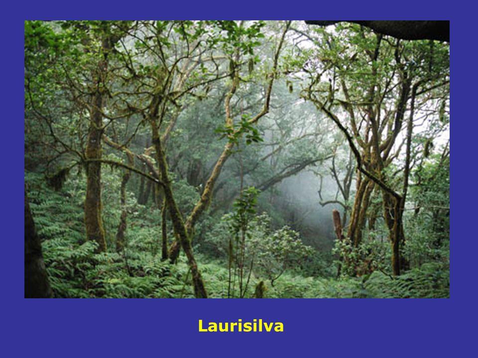 Laurisilva