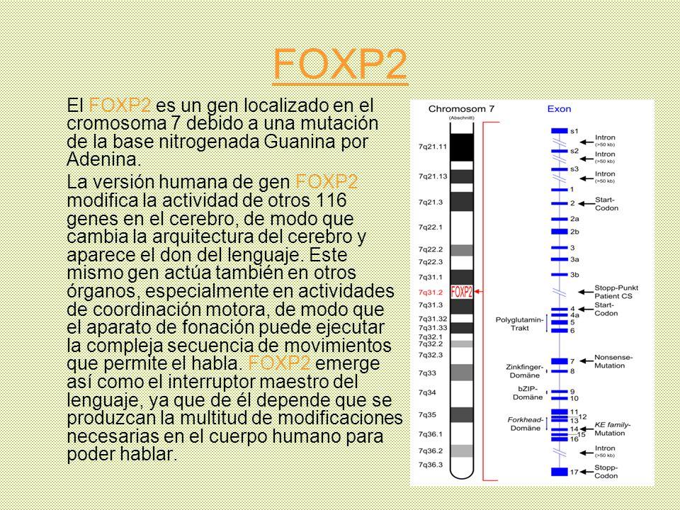 FOXP2 El FOXP2 es un gen localizado en el cromosoma 7 debido a una mutación de la base nitrogenada Guanina por Adenina.
