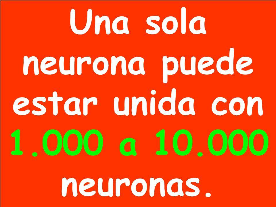 Una sola neurona puede estar unida con 1.000 a 10.000 neuronas.